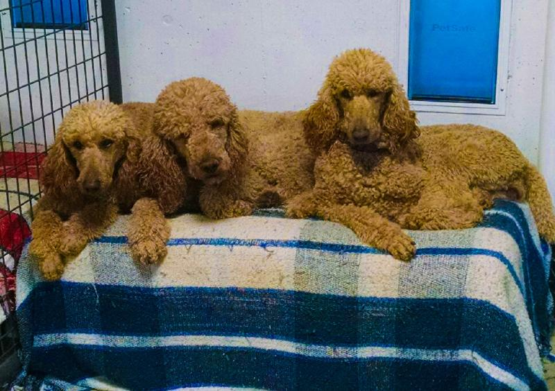 Colorado Red Royal Standard Poodles - Home