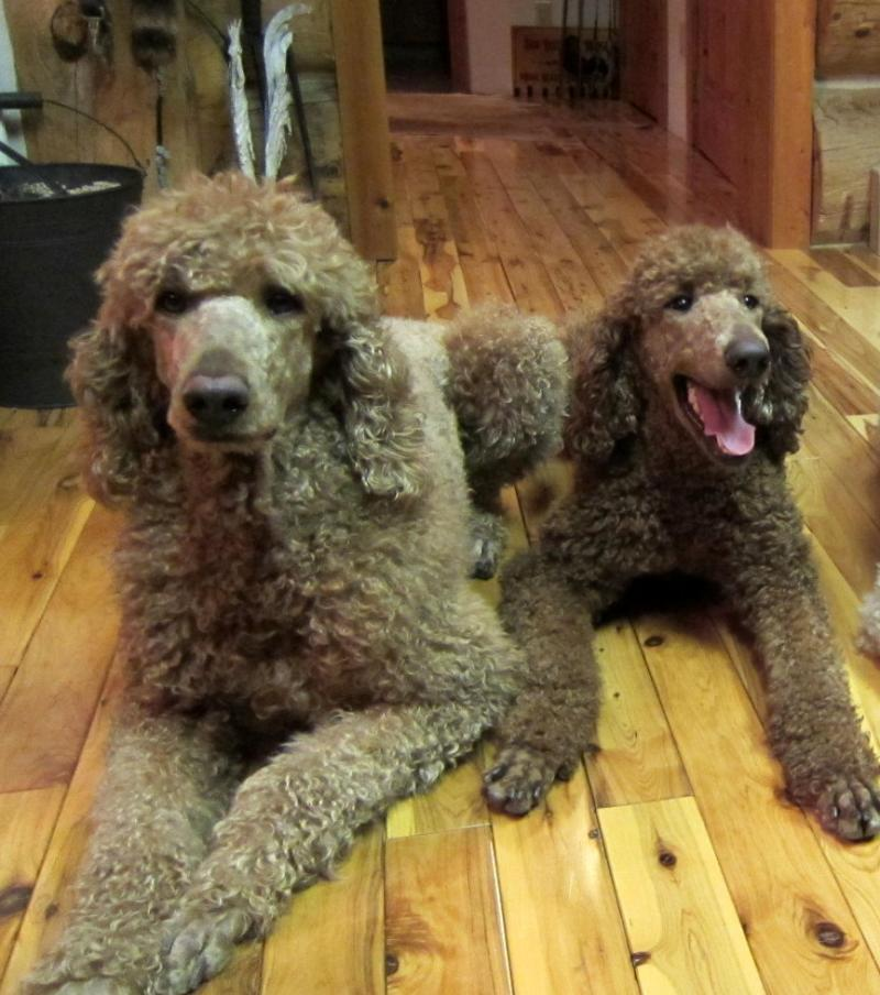 ... 2010 Colorado Red Royal Standard Poodles. All rights reserved