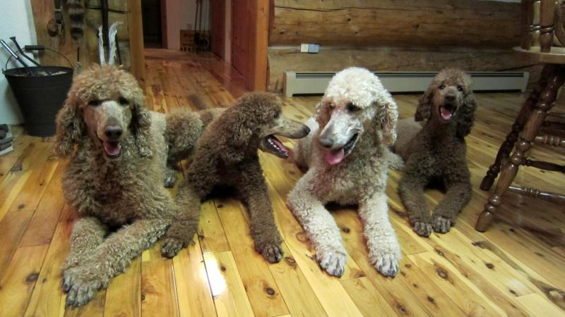 Colorado Red Royal Standard Poodles - Services - Sale Items Great ...