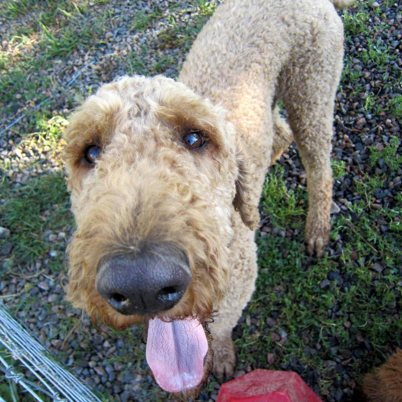 Colorado Red Royal Standard Poodles - Photos of sold puppies (and ...