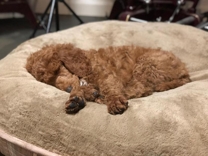 Colorado Red Royal Standard Poodles - Photos of sold puppies