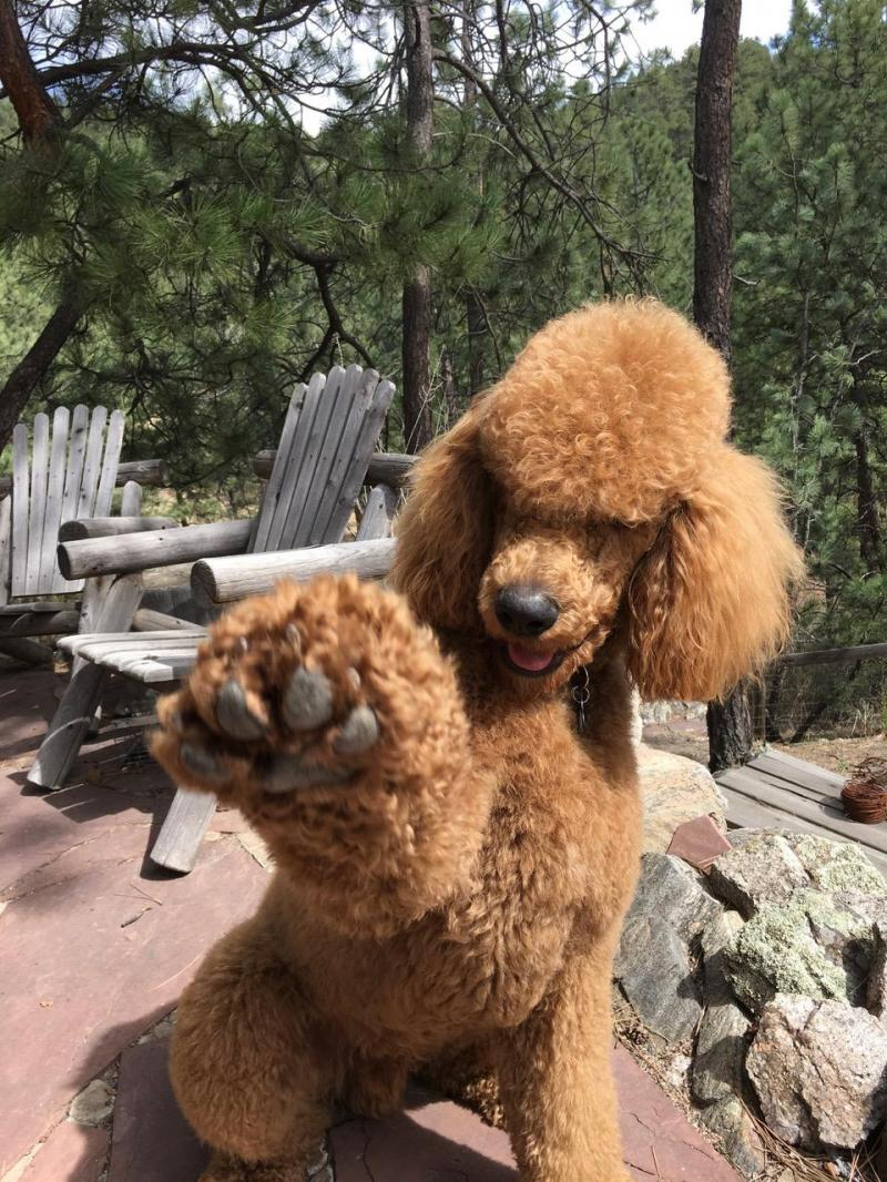 Colorado Red Royal Standard Poodles Home