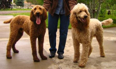 Colorado Red Royal Standard Poodles - Services - Sale ...